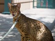 рейтинг самых дорогих пород кошек