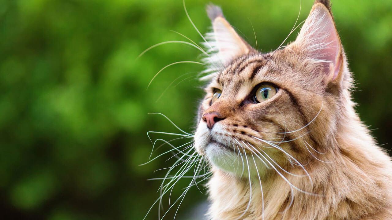 Большие кошки: топ-5 самых крупных пород кошек