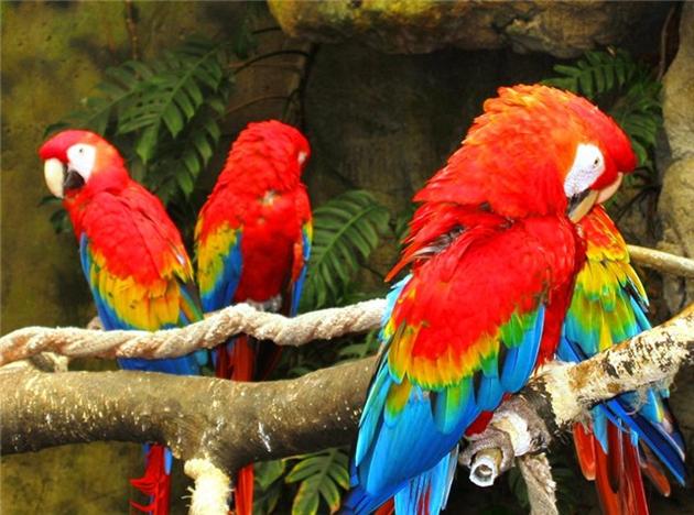 Красный ара