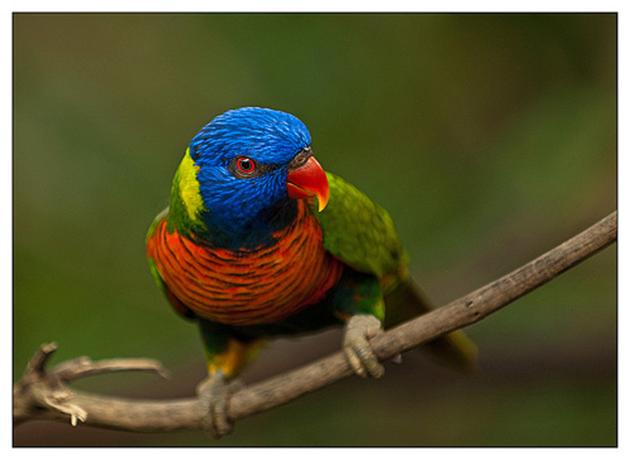 Лориевые попугаи