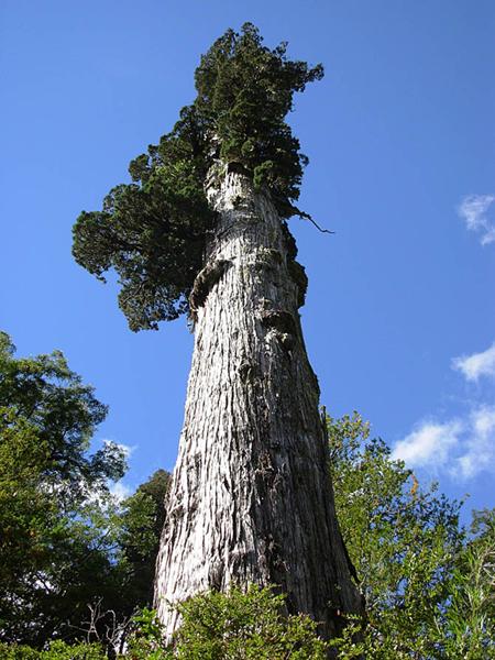 Все рейтинги : Самые старые деревья на планете