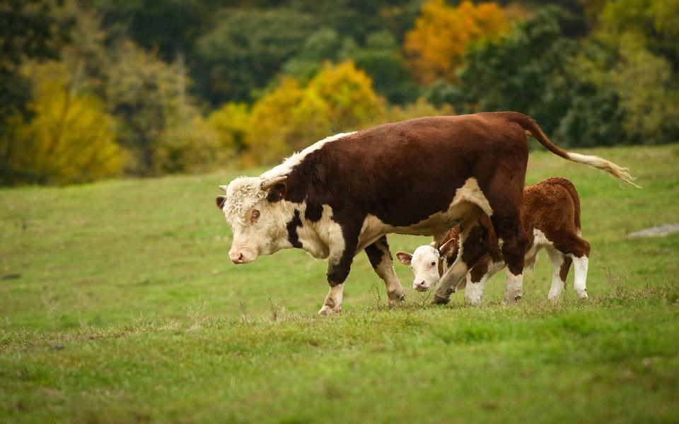 Налог на коровьи газы