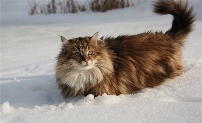 Самые пушистые кошки в мире (Топ-5 пород) (фото)