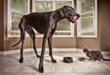 «Зевс» – самая большая собака в мире