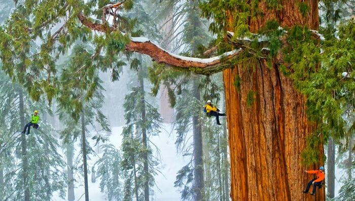 Гиперион – самое высокое дерево