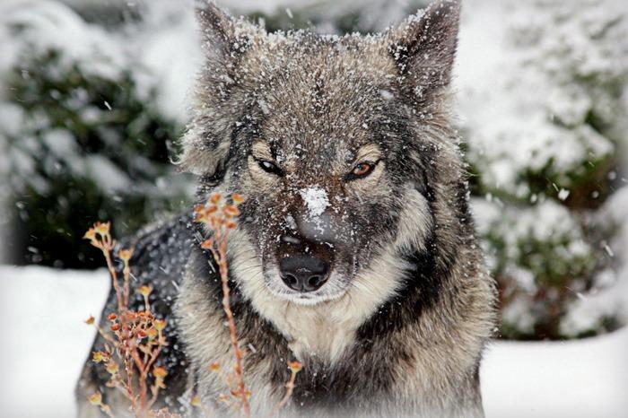 Гибриды волка