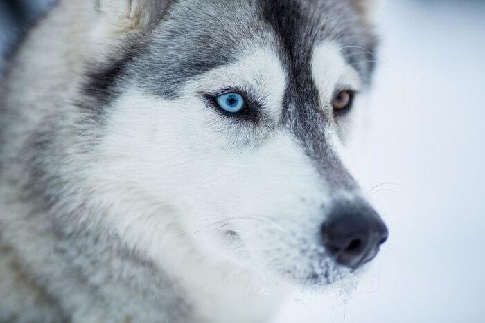 Сибирский хаски – самая красивая собака в мире