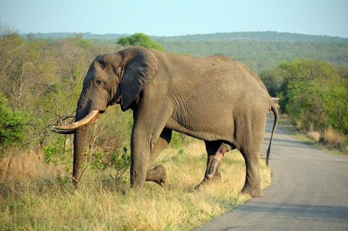 Член слона