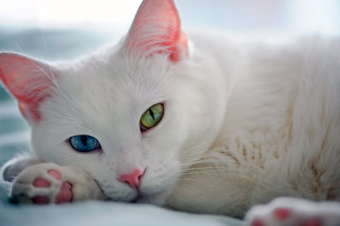 Порода Као-мани Алмазный глаз, фото кошки