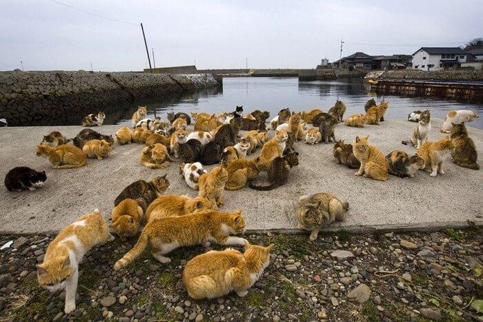 Остров кошек, Япония