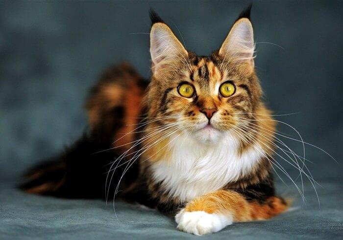 Мейнкун – самая тяжелая порода кошек