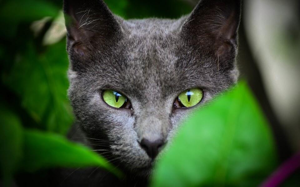 Самые дорогие породы кошек фото