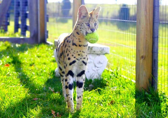Саванна – самая дорогая кошка в мире