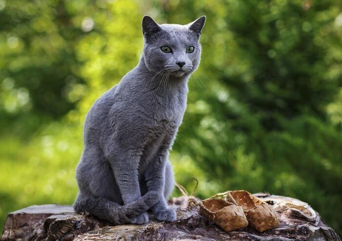 Русская голубая кошка, фото