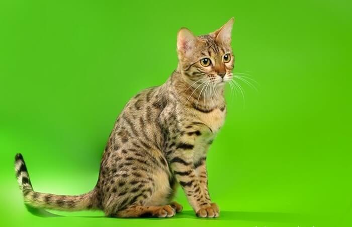 Кошка породы Серенгети, фото