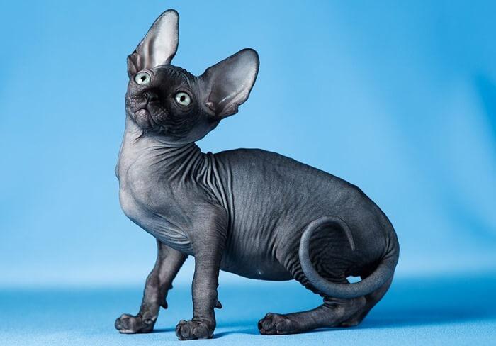 Наиболее дорогая русская порода кошек – Петерболд