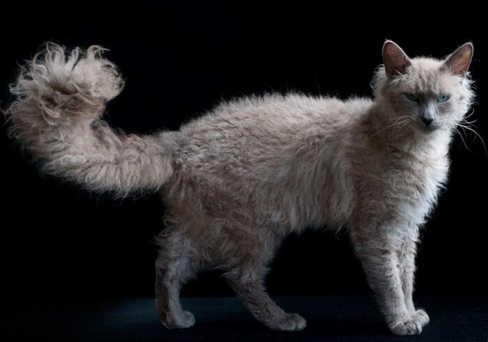 Порода кошек Лаперм, фото