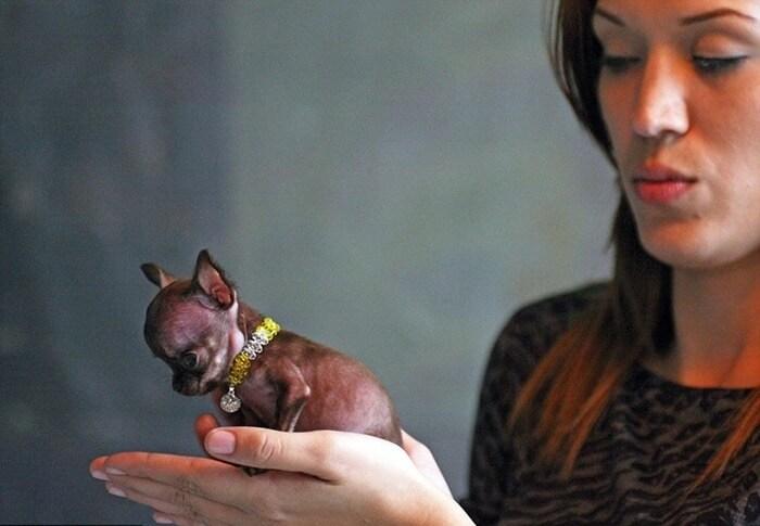 Чихуахуа Милли самая маленькая собака на Земле