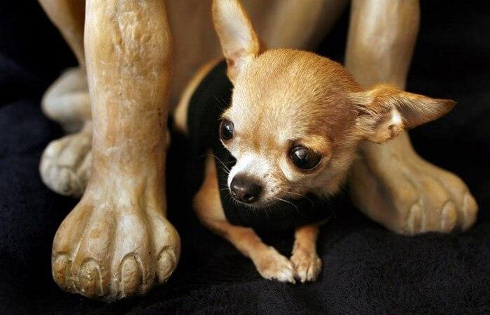 Чихуахуа Бренди самая короткая собака