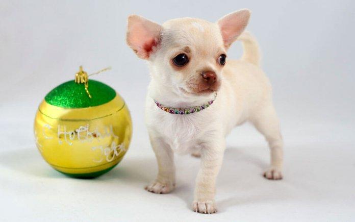 породы маленьких собак с