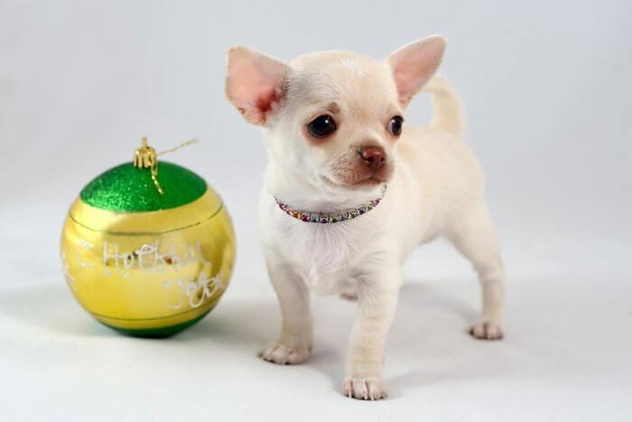 Чихуахуа – самая маленькая порода собак