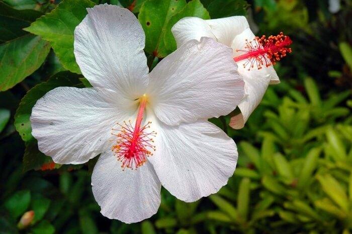 Гибискус Арнотти незапятнанный (Hibiscus arnottianus)
