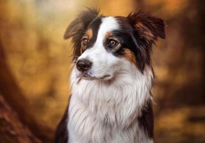 Бордер-колли самая умная собака в мире