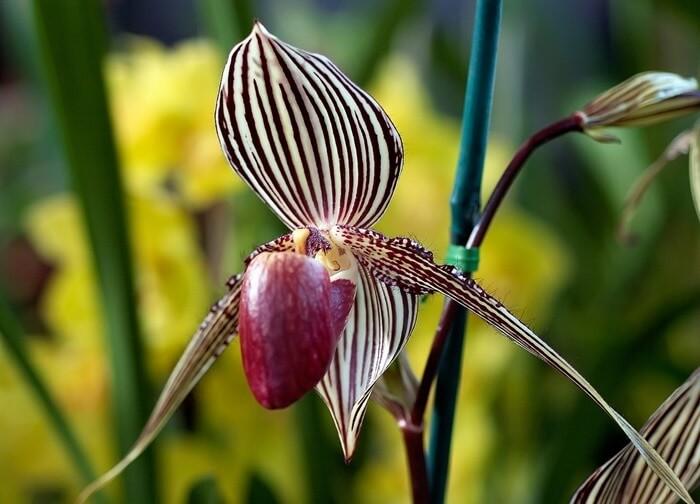 Башмачок Ротшильда (Rothschild's Slipper Orchid)
