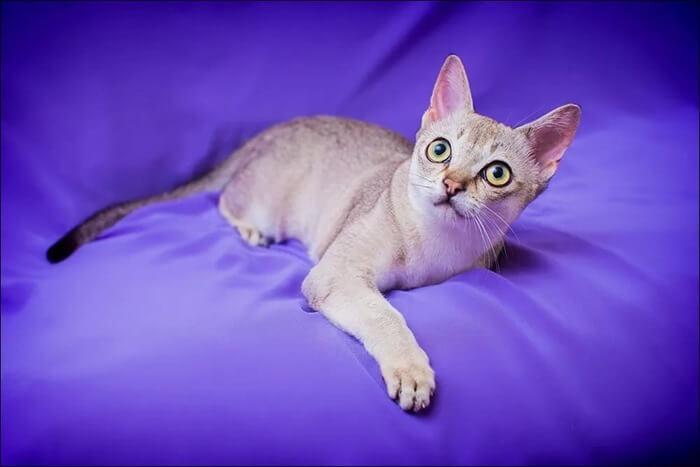 Сингапура порода кошек