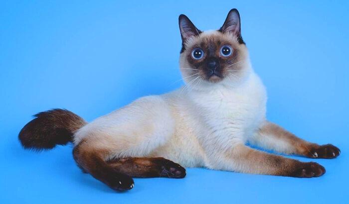 Той-боб – самая маленькая порода кошек