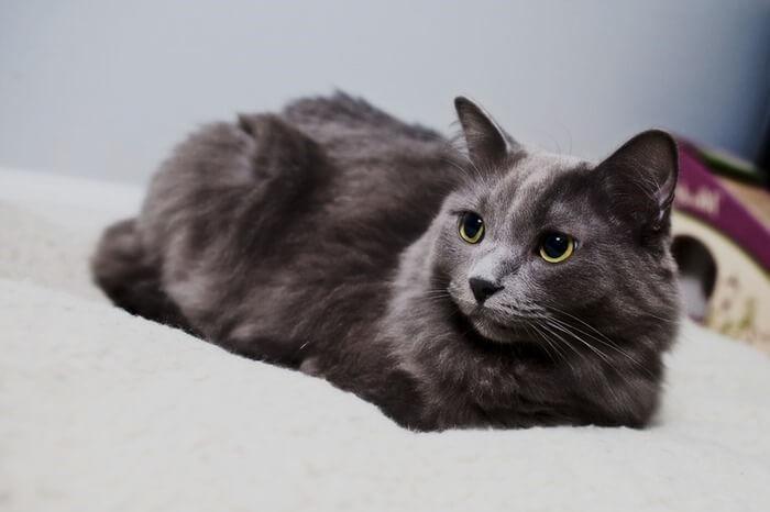 Нибелунг порода кошек
