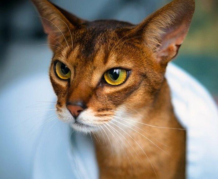 Абиссинская кошка одна из красивейших в мире