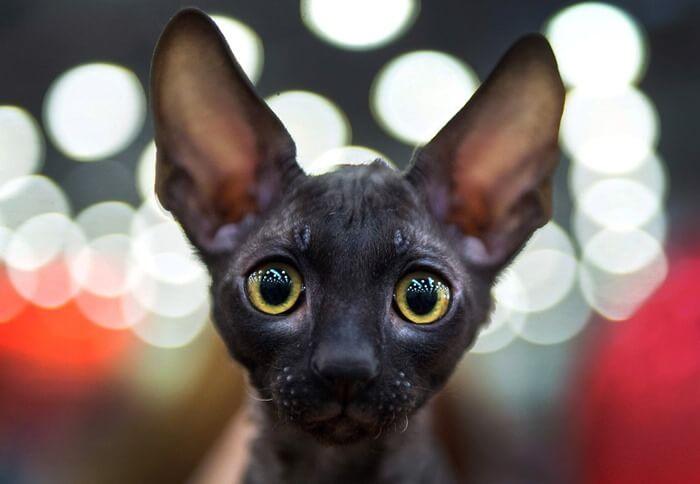 Корниш-рекс, кошка необычной красоты