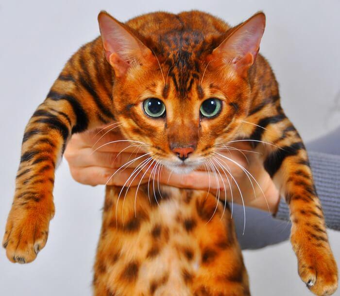 Тойгер кошка-тигр