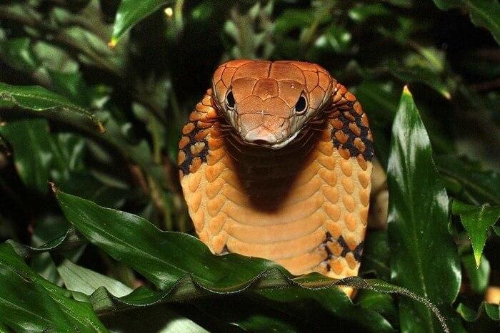 Королевская кобра самая большая ядовитая змея