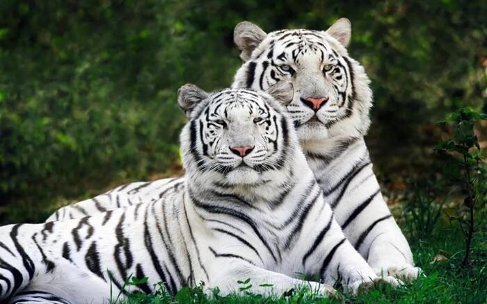 Белый бенгальский тигр (Panthera tigris bengalensis)