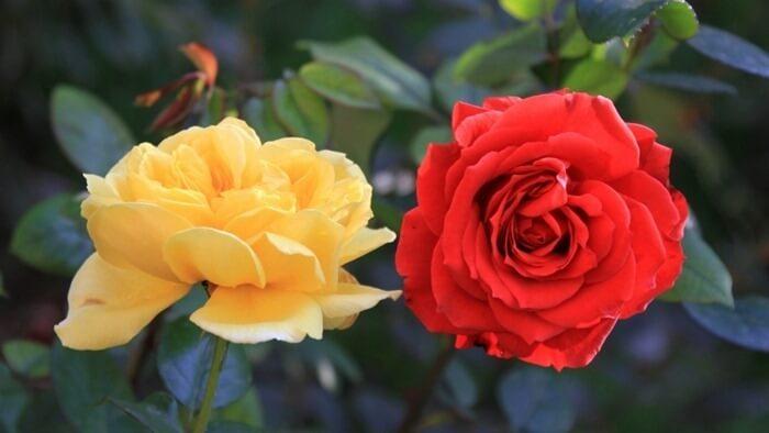 Rosa Aida – самый ароматный цветок в мире