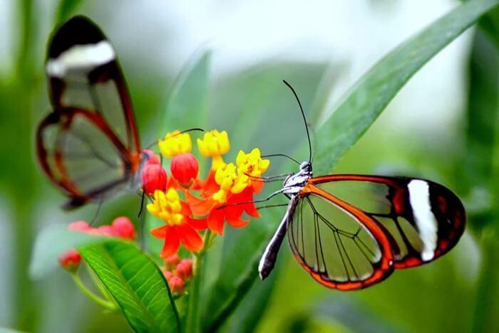 Стеклянная бабочка (Greta oto) – самая красивыя бабочка