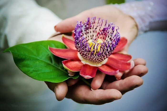 Страстоцвет (Passiflora)
