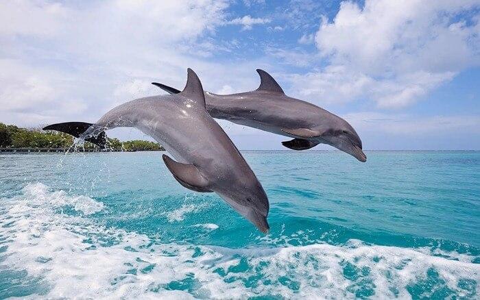 Красивый Дельфин (Dolphin)