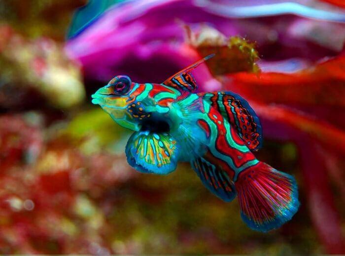 Мандаринка (Synchiropus splendidus) – самая красивая рыбка