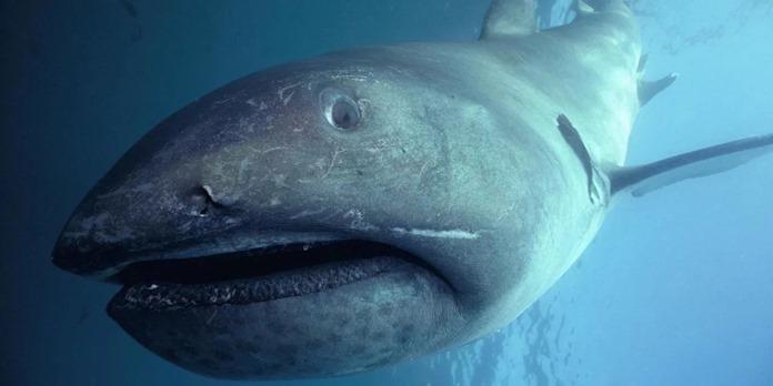 Пелагическая большеротая акула