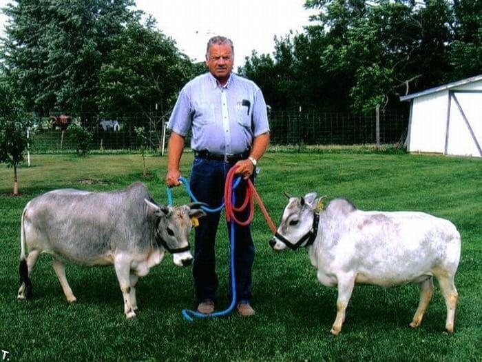Коровы Вечур – самые маленькие животные в мире