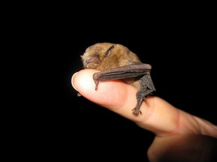 Самая маленькая летучая мышь в мире