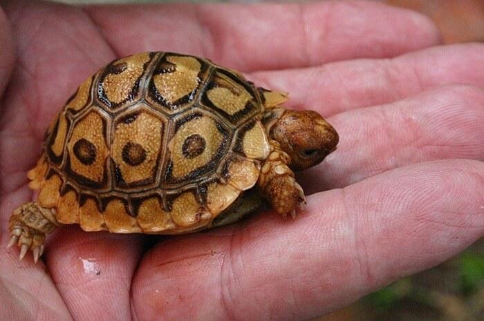 Капская крапчатая плоская черепаха