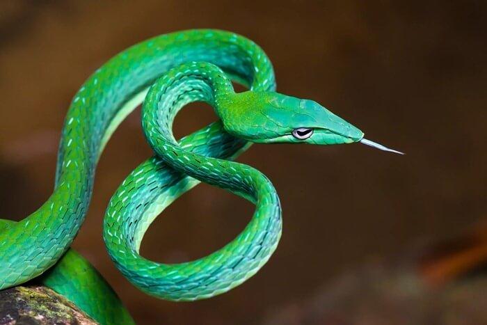 Травянисто-зеленая плетевидка, красивая змея