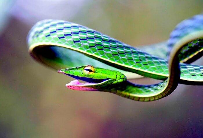 Травянисто-зеленая плетевидка, фото