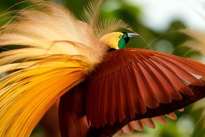 Малая райская птица