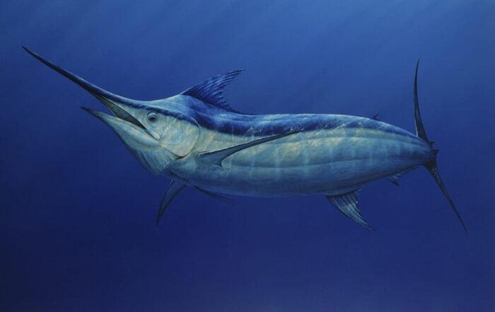 Атлантический голубой марлин