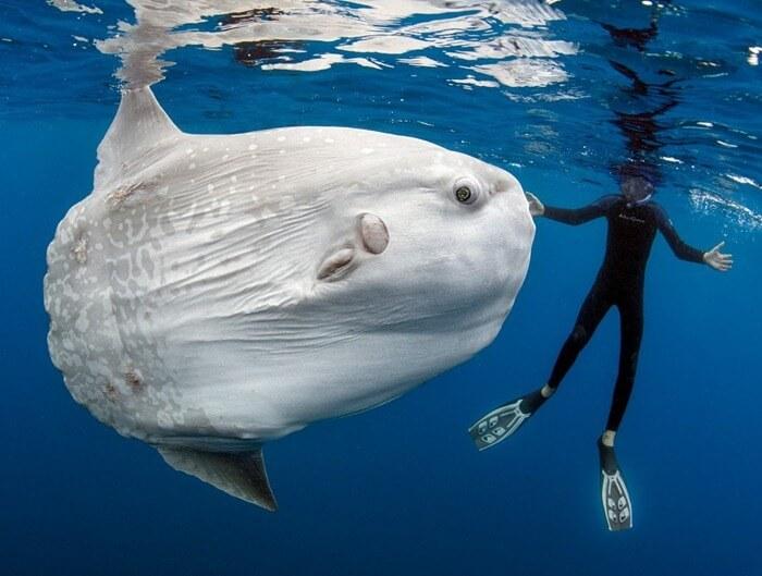 Гигантская солнечная рыба